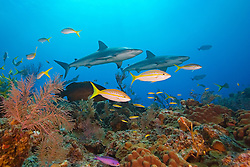 Caribbean Reef Shark, Carcharhinus perezi, and Yellowtail Snappers, Ocyurus chrysurus, over coral reef, West End, Grand Bahamas, Atlantic Ocean