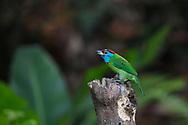 Blue-throated barbet, Psilopogon asiaticus, Tongbiguan Nature Reserve, Dehong, Yunnan, China