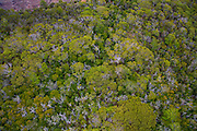 Koa forest, Kokee, Kauai, Hawaii