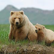 Alaskan Brown Bear (Ursus middendorffi) mother and cub. Katmai National Park, Alaska