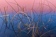 Reeds at sunrise<br />Duck Mountain Provincial Park<br />Manitoba<br />Canada