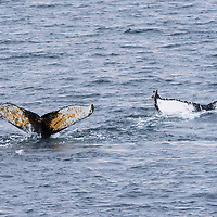 The tails, or flukes, of two humpback whales appear on the surface of the water as they dive in the Gerlache Strait, Antarctica.