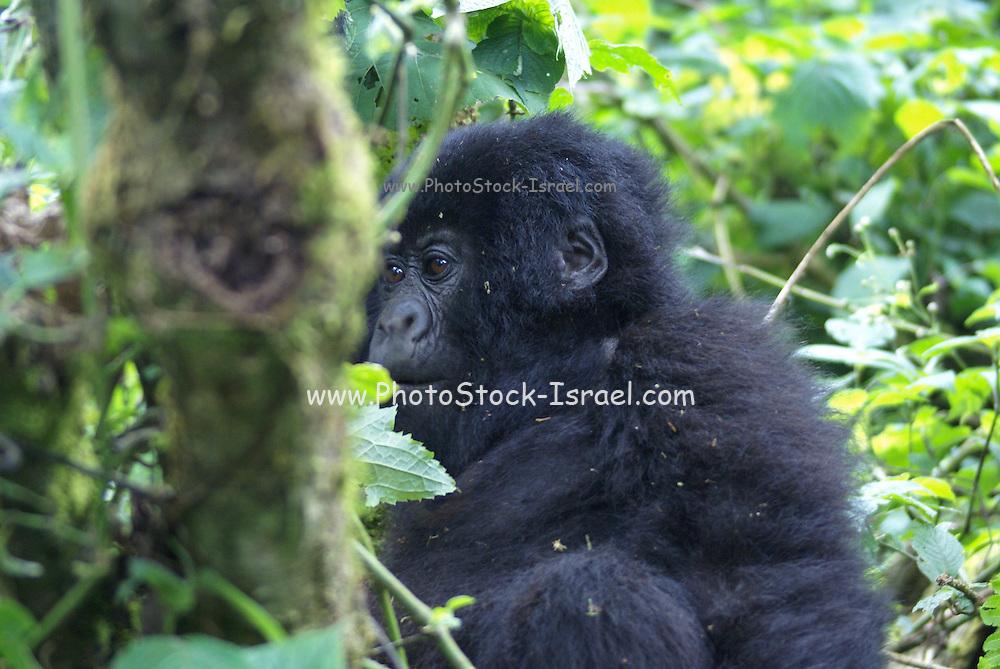 Rwanda, Volcanoes National Park (Parc National des Volcans) young Gorilla