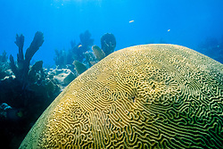 knobby brain coral, Diploria clivosa, Minnow Caves, Key Largo, Florida Keys National Marine Sanctuary, Atlantic Ocean