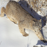 Canada Lynx (Lynx canadensis) adult in the snowy Rocky Mountains of Montana.  Captive Animal