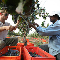 SETTLER'S BOUTIQUE WINE 2009...A Jewish settler and a foreign Thai worker pick Merlot grapes from the vineyard during the harvest of Tanya boutique winery in the West Bank Jewish settlement of Ofra, October 2009.