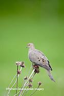 01081-01204 Mourning Dove (Zenaida macroura) on seed head of Purple Coneflower (Echinacea purpurea) Marion Co,.IL