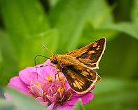 Skipper (?) butterfly feeding on a Zinnia Flower. Image taken with a Nikon 1 V3 camera and 70-300 mm VR lens