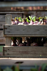 Hyacinth bulbs in wooden trays at Floratuin Julianadorp, Holland