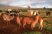ECUADOR, HIGHLANDS, AGRICULTURE farmland near Cotopaxi Volcano south of Quito; with dairy cattle and llamas grazing