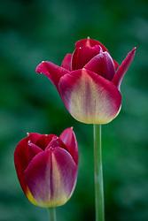 Tulipa 'Disaronno' - or maybe  'Di Saronno' - check correct name id
