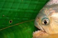 Piranha, Serrasalmus sp., Pantanal, Brazil