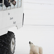 A polar bear looks up at tourists on a Tundra Buggy. Manitoba, Canada