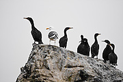 A seagull stands on a rock with a group of black cormorants in San Francisco Bay, California.