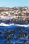 South African fur seals, Arctocephalus pusillus pusillus, <br /> Seal Island, False Bay, Cape of Good Hope, South Africa