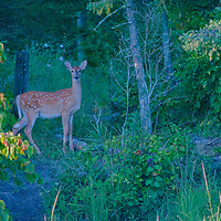 A white-tailed deer fawn (Odocoileus virginianus) watches warily from a forest beside Lake of the Woods, Ontario, Canada.