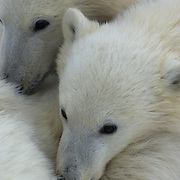 Polar Bear (Ursus maritimus) cub cuddling with mom. Hudson Bay, Manitoba, Canada