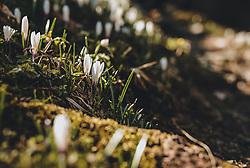 THEMENBILD - weisse Krokusse an einem Wegrand, aufgenommen am 07. April 2020 in Kaprun, Oesterreich // white crocuses on a roadside, Austria on 2020/04/07. EXPA Pictures © 2020, PhotoCredit: EXPA/Stefanie Oberhauser