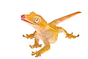 Portrait of a Crested Gecko, or Eyelash Gecko with it's tongue sticking out.