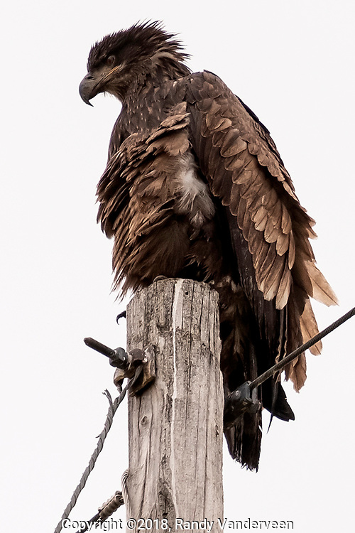 Photo Randy Vanderveen<br /> Grande Prairie, Alberta<br /> 2018-09-18<br /> An immature bald eagle perches on a power pole just south of Clairmont Lake Tuesday morning, taking advantage of its high perch to check out its surroundings and the possibility hunting opportunities.