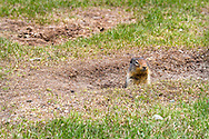 A Columbian Ground Squirrel (Urocitellus columbianus) watching from their burrow at Lightning Lakes in Manning Provincial Park in British Columbia, Canada.
