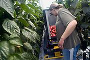 Nederland, Bemmel, 12-8-2011Bergerden. Hier staan een tiental grote, nieuwe, hypermoderne tuinbouw bedrijven.Verregaand geautomatiseerd, deels biologisch en energie zuinig. Kastuinbouw, economie, innovatie, vernieuwing,computergestuurd.Veel Poolse werknemers, arbeidskrachten, personeel, uitzenkrachten werken hier. In deze kas wordt paprika gekweekt. Arbeidsmigratie uit Polen, tijdelijke werkvergunning, werkgelegenheid, arbeidsethos. personeelstekort, werkloosheid, CWI.Vaak worden zij geworven door een uitzendbureau, uitzendburo.Foto: Flip Franssen/Hollandse Hoogte