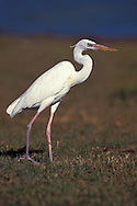 Great Blue Heron - Ardea herodias - Adult white morph