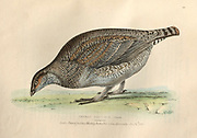 Female dusky grouse (Dendragapus obscurus syn Tetrao obscurus) color plate of North American birds from Fauna boreali-americana; or, The zoology of the northern parts of British America, containing descriptions of the objects of natural history collected on the late northern land expeditions under command of Capt. Sir John Franklin by Richardson, John, Sir, 1787-1865 Published 1829