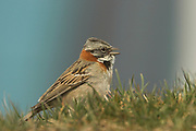 Rufous-collared sparrow, Zonotrichia capensis, singing, Ushuaia, Argentina, South America