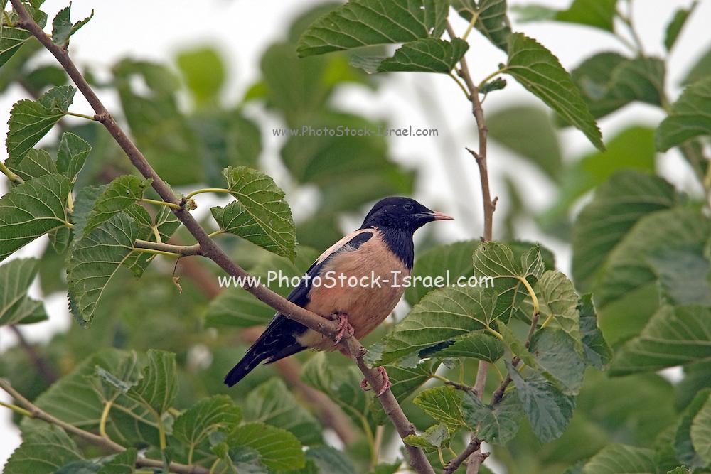 Rosy Starling (AKA Rose-coloured Starling or Rose-coloured Pastor) (Sturnus roseus) on a dry tree, Hefer valley, Israel