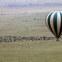 Africa, Kenya, Masai Mara. Hot Air Ballooning over migrating wildebeest in the Maasai Mara.