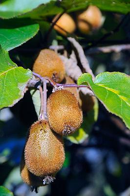 Nederland, Ubbergen, 21-11-2009Een kiwiplant, Actinidia sinensis, met voor nederland ongewoon grote hoeveelheid vruchten in de tuin van mijn buurman.Foto: Flip Franssen/Hollandse Hoogte
