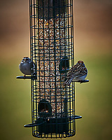 Chipping Sparrow. Image taken with a Nikon Df camera and 300 mm f/4 telephoto lens (ISO 280, 300 mm, f/4, 1/320 sec)