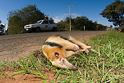 Dwarf or Collared Anteater (Tamandua tetradactyla) killed by a car in Mato Grosso do Sul, Brazil.