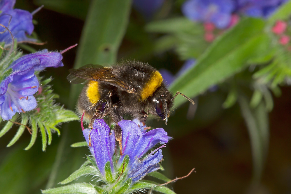 Buff-tailed Bumblebee - Bombus terrestris - worker on Viper's Bugloss.