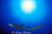 zebra shark or leopard shark, Stegostoma fasciatum, Manta Bommie, N. Stradbroke Island, near Brisbane, Queensland, Australia ( Western Pacific Ocean )