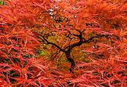A Japanese maple turns red in autumn. The Seattle Japanese Garden was completed in 1960 within UW's Washington Park Arboretum. Address: 1075 Lake Washington Blvd E, Seattle, Washington 98112, USA.
