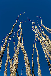 Ocotillo (Fonquieria splendens) against blue sky, Big Bend National Park, Texas