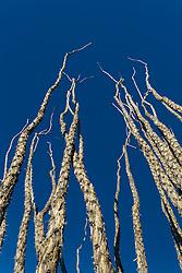 Ocotillo (Fonquieria splendens) against blue sky, Big Bend National Park, Texas