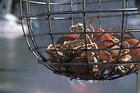 Crabs in a crab trap, Fort Bragg California