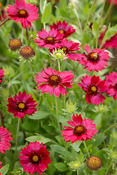 Gaillardia × grandiflora 'Burgunder' - Blanketflower