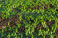 Mussle beds and sea lettuce exposed on the rocky intertidal flats of De Hoop Marine Protected Area at low tide, Western Cape, South Africa