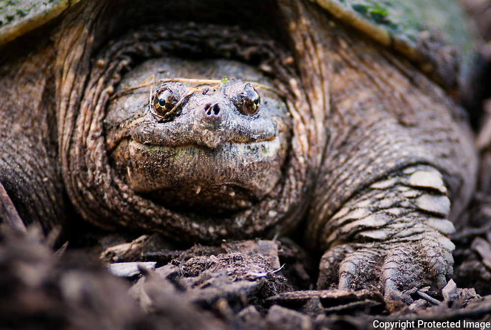 A female common snapping turtle lays eggs on a trail at the Genesee County For-Mar Nature Preserve in Burton. After digging a hole, the female typically deposits 25 to 80 eggs guiding them into the nest with her hind feet and covering them with dirt.