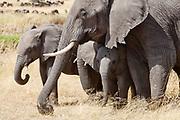 African Elephant calves with a female adult.(Loxodonta africana).Serengeti National Park,Tanzania