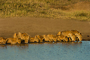 Lion pride with cubs of various ages, Serengeti National Park, Tanzania. drinking at waterhole