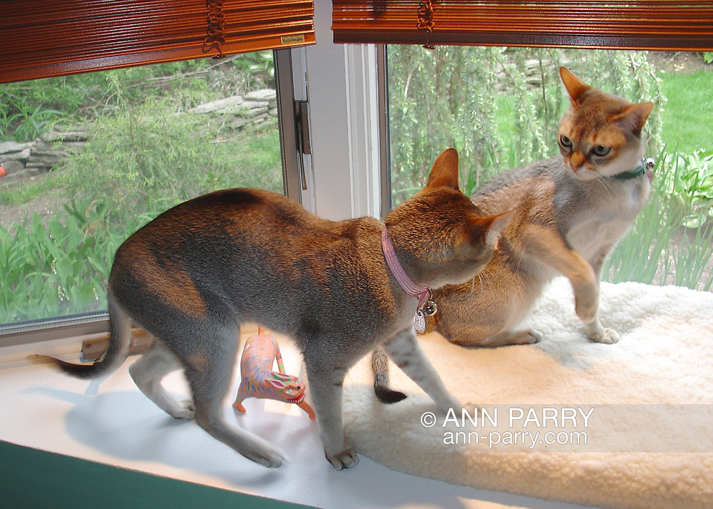 Rockville Centre, New York, U.S. May 15, 2005. Singapura cat sisters Minnie, 6, (left) and Daisy, 5, (right) play fight in window seat overlooking backyard of their Long Island home. These healthy pedigreed cats are typical of the affectionate, small, sturdy breed that has big eyes and ears, short sepia agouti fur, and likes to climb up on high surfaces.