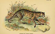 leopard cat Javan Variety (Prionailurus bengalensis Here as Felis bengalensis) is a small wild cat native to continental South, Southeast, and East Asia From the book ' A handbook to the carnivora : part 1 : cats, civets, and mongooses ' by Richard Lydekker, 1849-1915 Published in 1896 in London by E. Lloyd