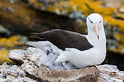 A Black-browed Albatross (Diomedea melanophris) with chick on a nest, North Nature Reserve, New Island, Falkland Islands.