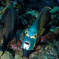 French Angel, Angelfish Reef,  Grand Cayman