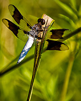 Dragon Fly. Image taken with a Nikon D2xs camera and 105 mm f/2.8 macro lens.